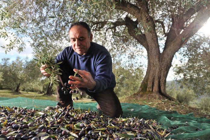 Huile d'olive, il faut connaitre la date de la récolte !