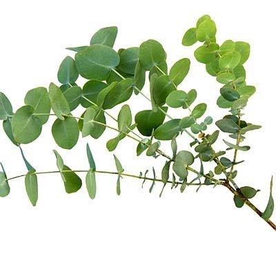 eucalyptus pour arreter les reniflements