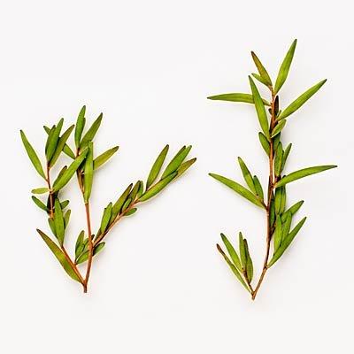 huile arbre a the pour combattre les infections