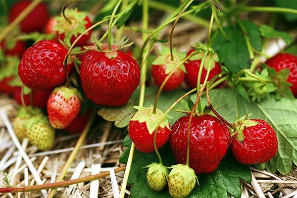 Juin-ramene-sa-fraise1