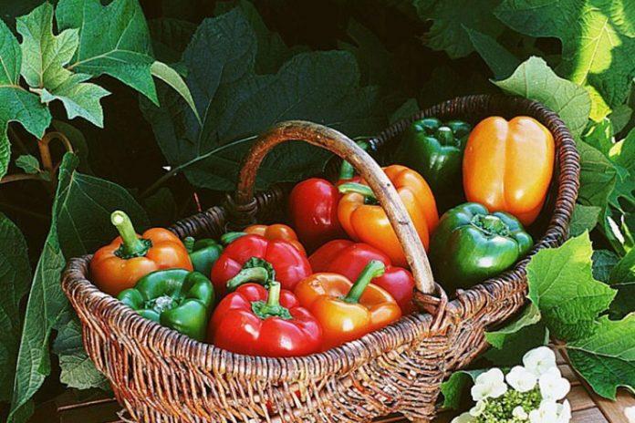 Le poivron, le piment doux de la cuisine méditerranéenne