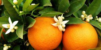 L'orange, fruit rare offert aux enfants à Noël, autrefois…