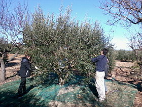 Olive_Harvest_in_Catalonia_23-11-2013