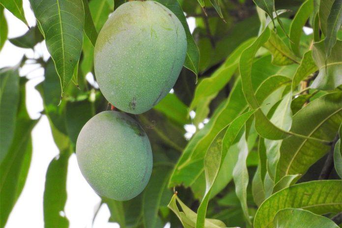 Incroyables bienfaits des feuilles de manguier pour les diabétiques !