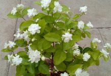 Cultiver un jasmin dans sa chambre pour réduire l'anxiété, les crises de panique et la dépression