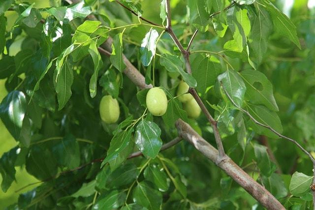 Jujube-fruit-vert