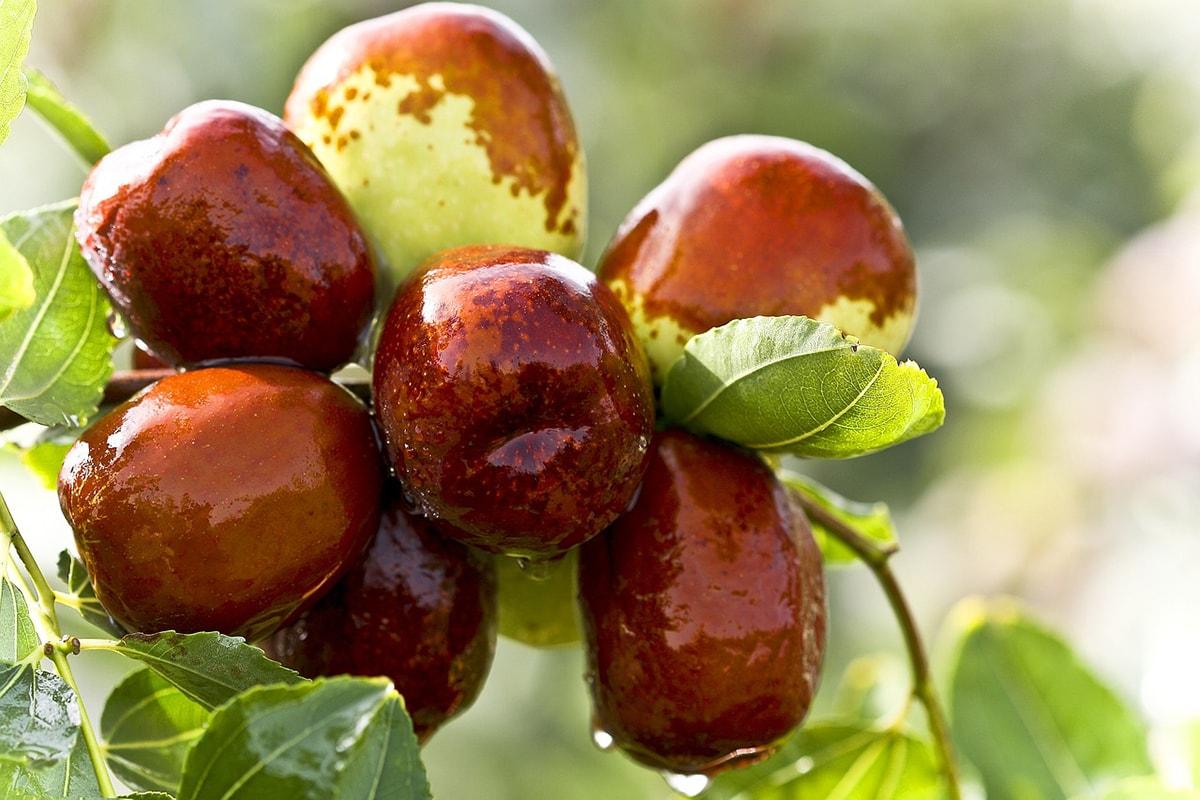 Qu'est-ce que le jujube ? Nutrition, bienfaits, utilisations...